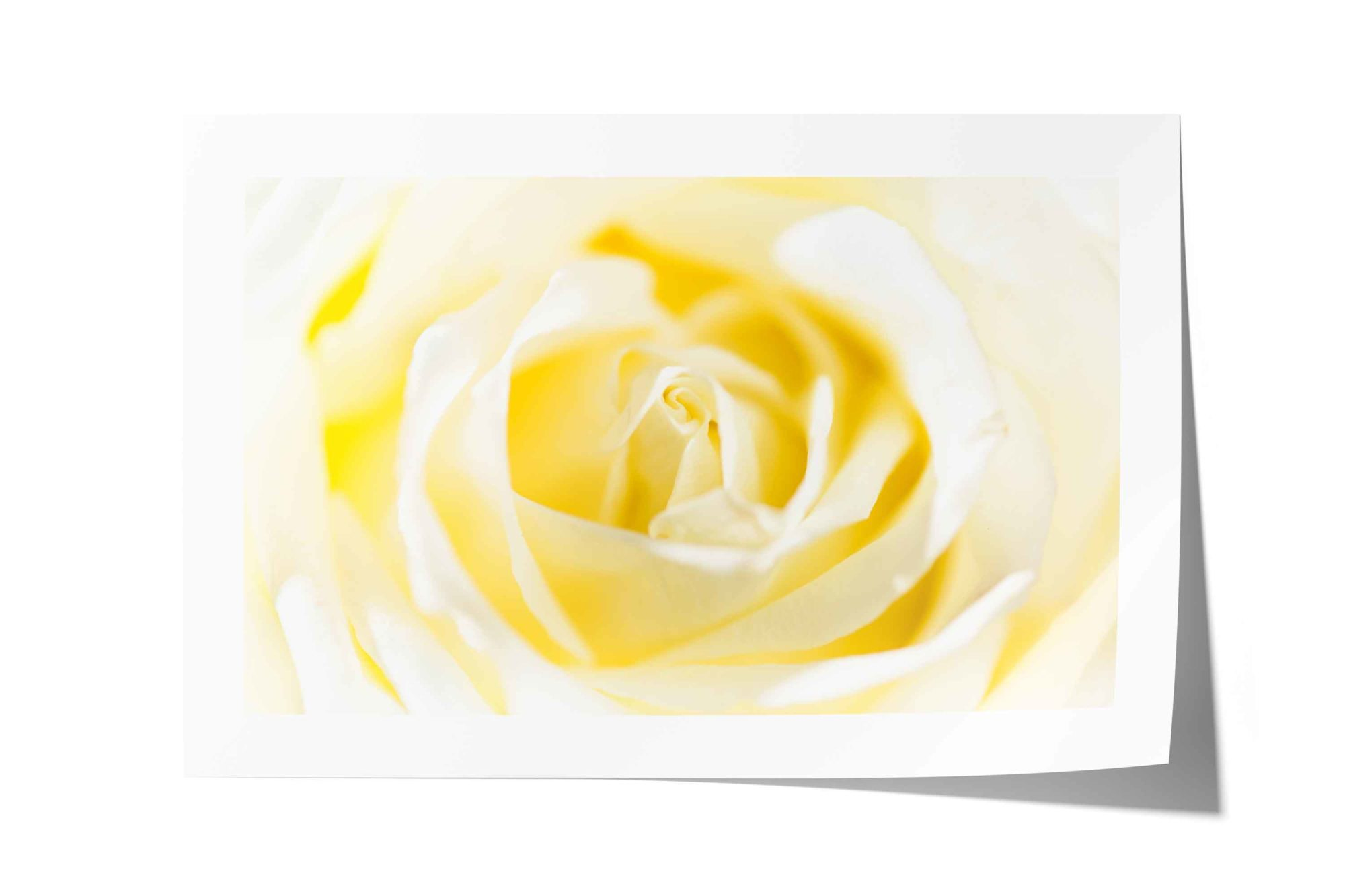 Rose, Flower, Plant, Wedding, Bloom, Blossom, Fresh, Love, Romantic, Macro, Closeup, Detail, Cream, White,